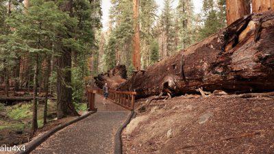 054-sequoia