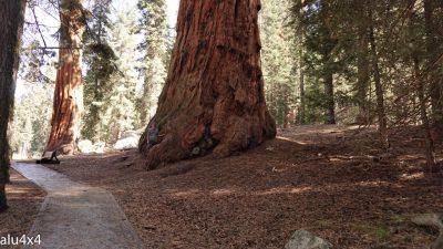 057-sequoia